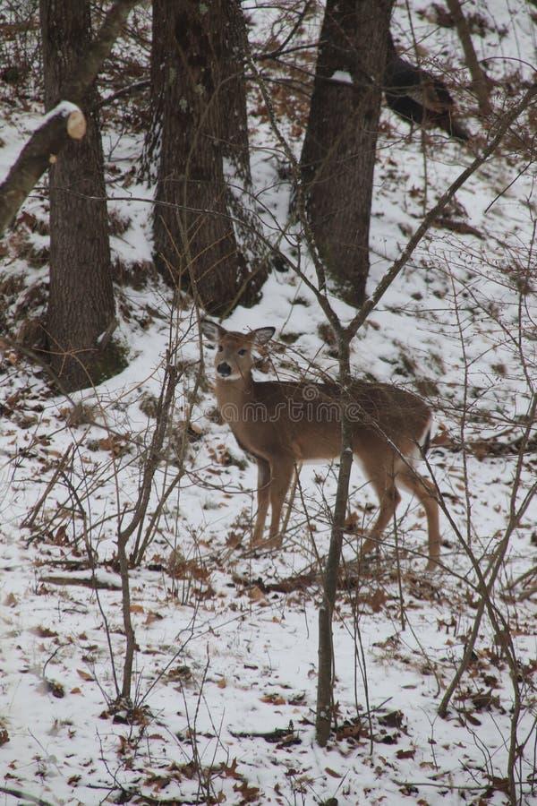 Cervos em ajuste arborizado fotografia de stock