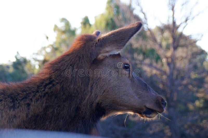 Cervos em Grand Canyon foto de stock