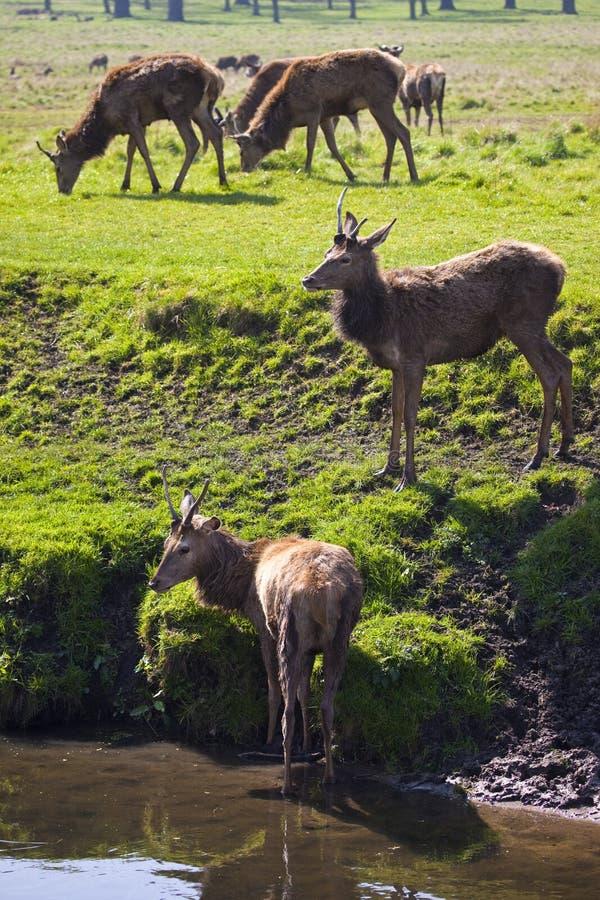Cervos em Richmond Park imagem de stock