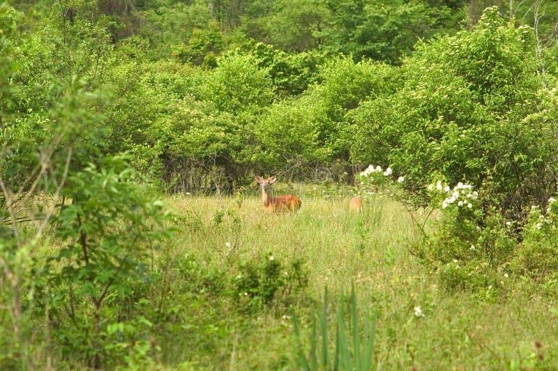 Cervos em um prado imagens de stock
