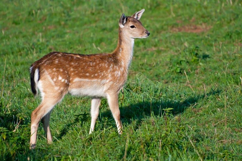 Cervos em uma grama fotos de stock royalty free
