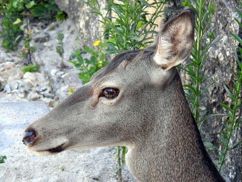 Cervos europeus, capreolus do Capreolus Retrato de um cervo fêmea foto de stock