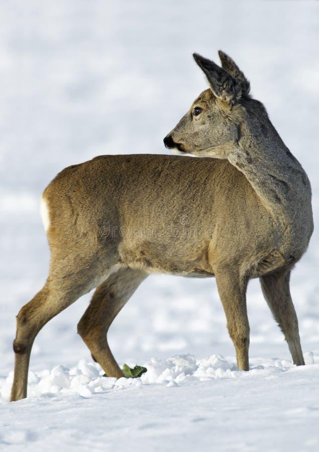 Cervos europeus das ovas (capreolus do Capreolus) fotos de stock royalty free