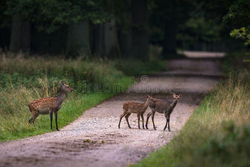 Cervos fêmeas de Sika com as duas jovens corças que cruzam a estrada em uma floresta em Dinamarca foto de stock royalty free
