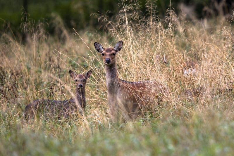 Cervos fêmeas de Sika com jovem corça em uma floresta em Dinamarca, Europa fotos de stock royalty free