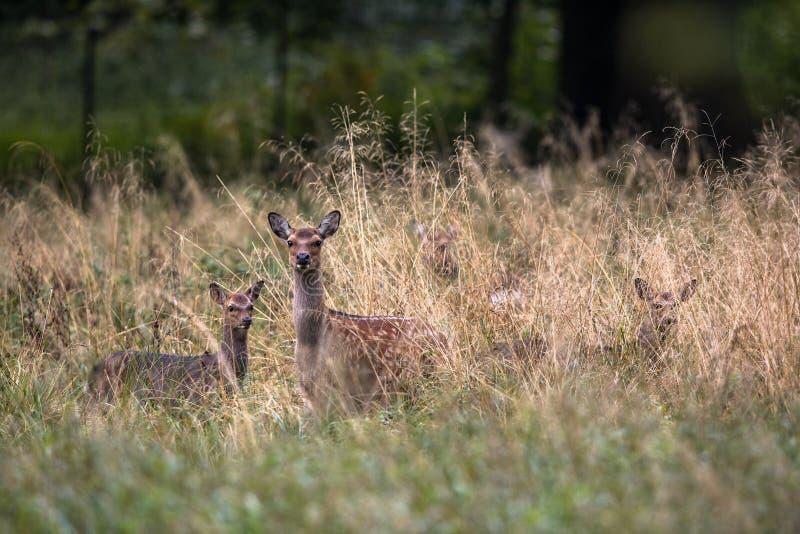 Cervos fêmeas de Sika com jovem corça em uma floresta em Dinamarca, Europa imagens de stock royalty free