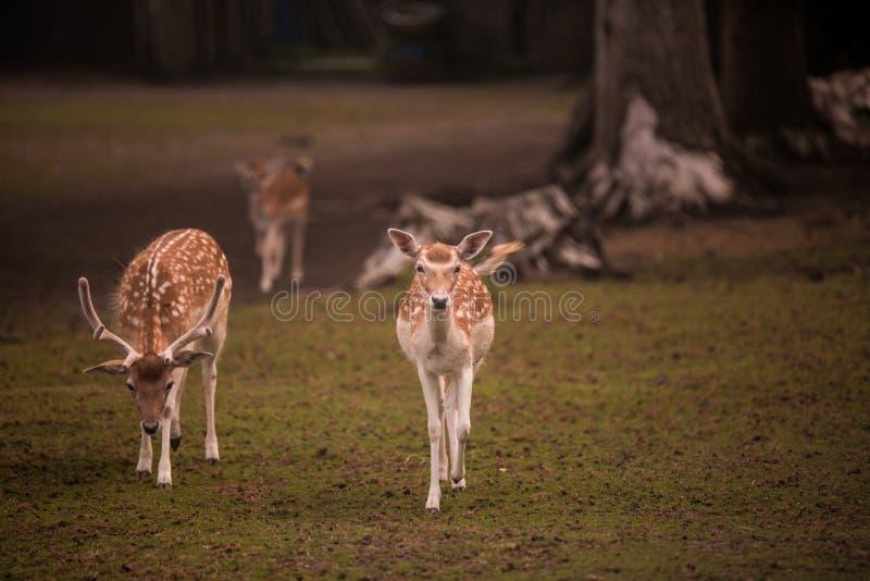 Cervos fêmeas e masculinos novos foto de stock royalty free