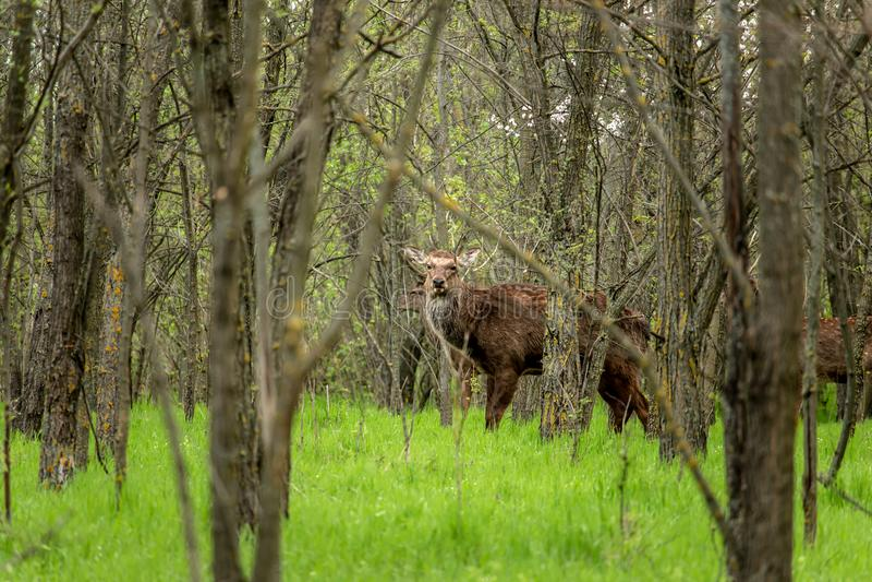 Cervos Hornless imagem de stock