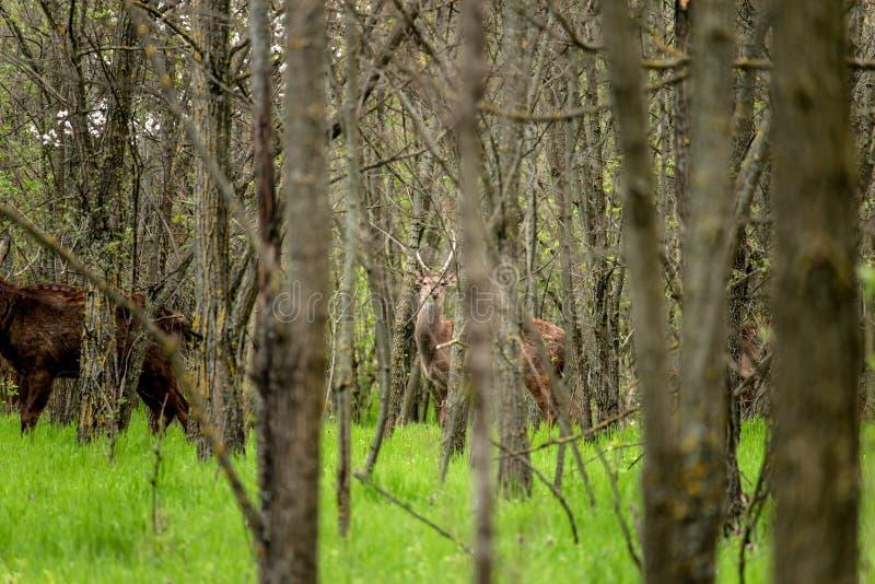 Cervos Hornless fotografia de stock
