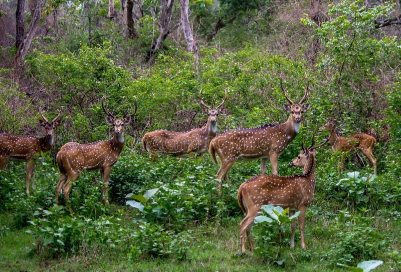 Cervos manchados fotografia de stock