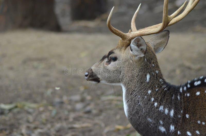Cervos manchados imagem de stock