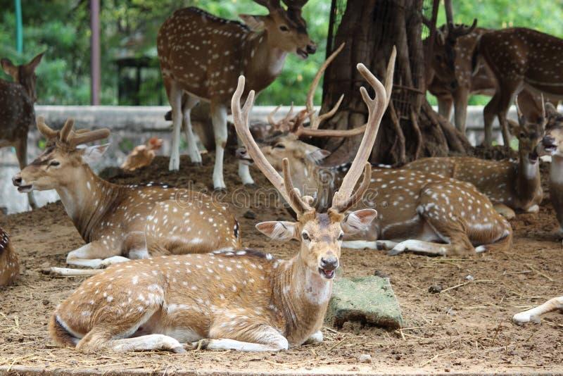 Cervos manchados cervos da linha central fotografia de stock royalty free