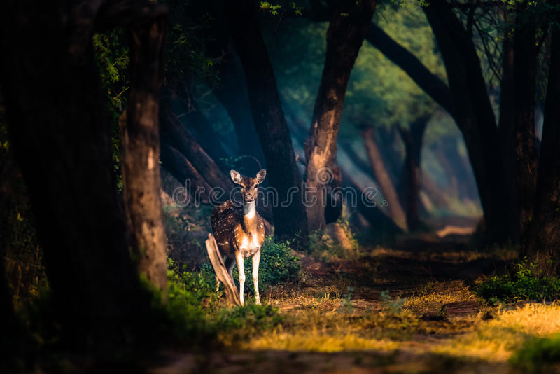 Cervos manchados em luzes místicos em Bharatpur foto de stock