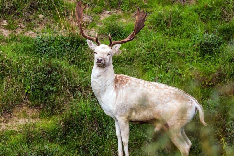 Cervos manchados lindos imagens de stock