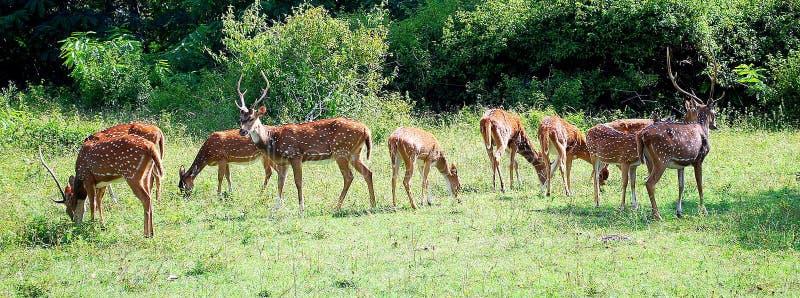 Cervos manchados no parque nacional do bandipur imagem de stock royalty free