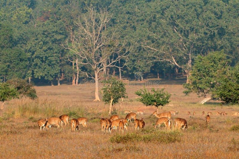 Cervos manchados - parque nacional de Kanha imagem de stock