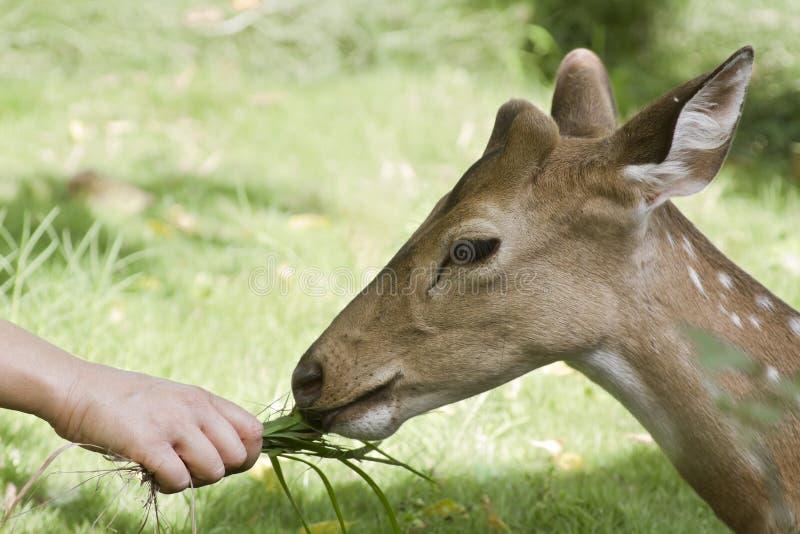 Cervos manchados que comem a grama em Bardia, Nepal fotos de stock