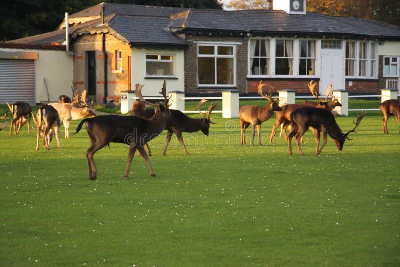 Cervos marrons irlandeses selvagens imagens de stock royalty free