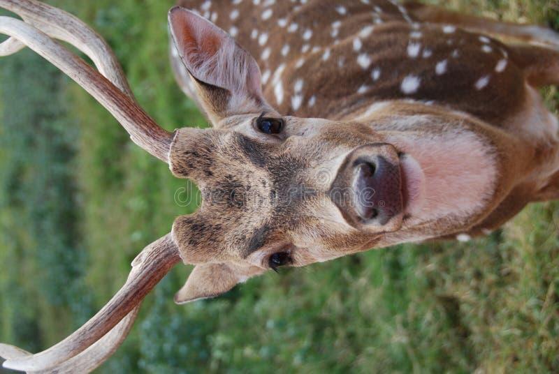 Cervos masculinos da linha central fotos de stock royalty free