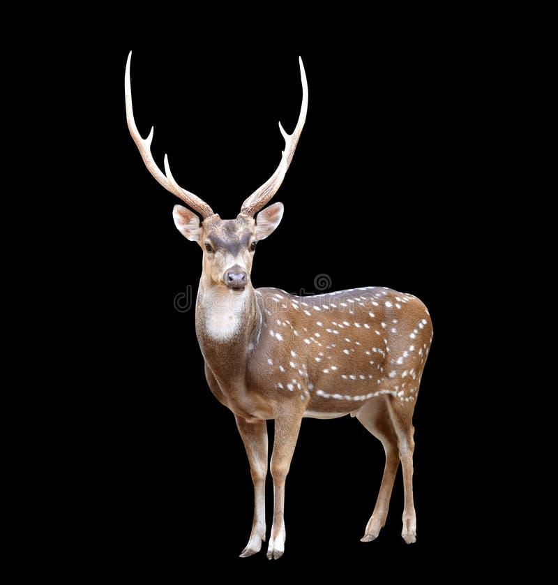 Cervos masculinos da linha central foto de stock