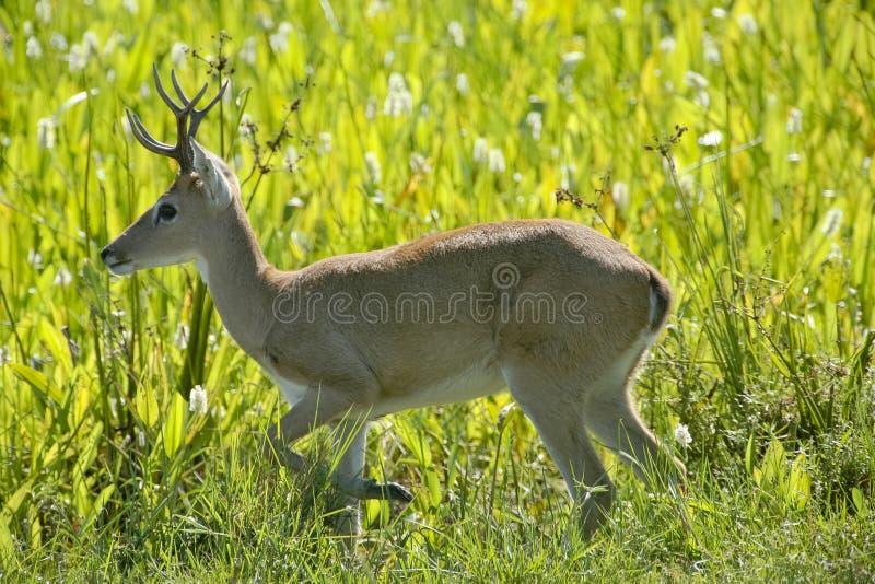 Cervos masculinos das pampas na grama imagem de stock royalty free