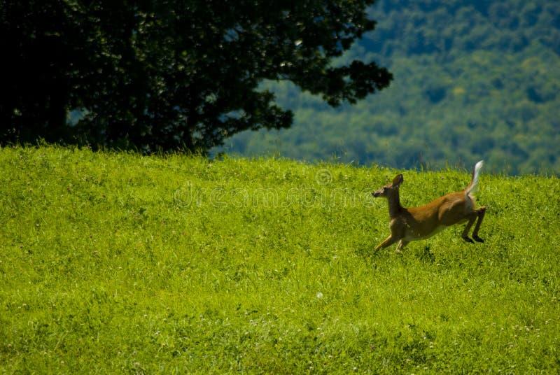 Cervos masculinos novos da cauda branca que funcionam através de Vermont imagens de stock