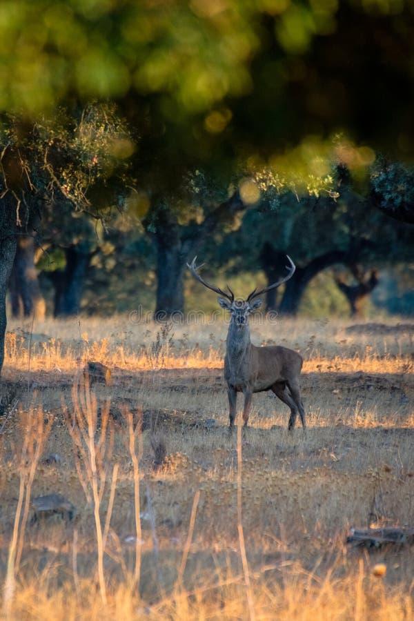Cervos masculinos novos no por do sol no dehesa espanhol, no parque nacional de Monfrague, Extremadura, Espanha imagens de stock royalty free