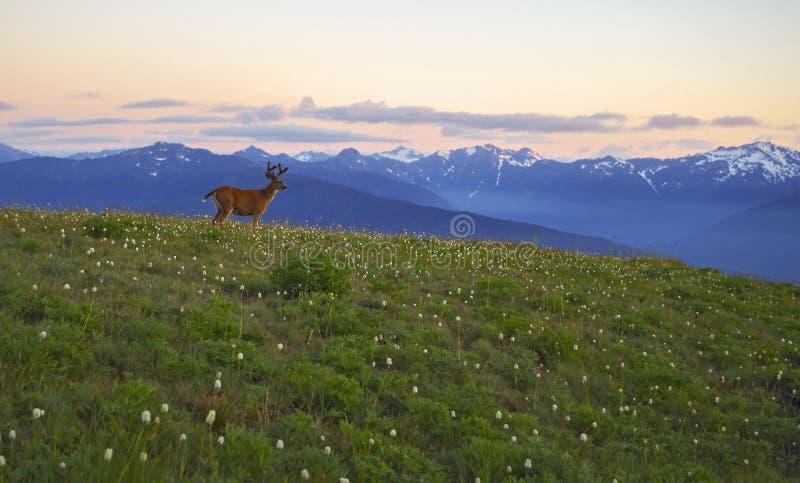 Cervos, montanhas e furacão Ridge dos prados, parque nacional olímpico imagem de stock royalty free