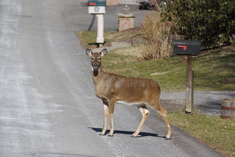 Cervos na estrada imagens de stock