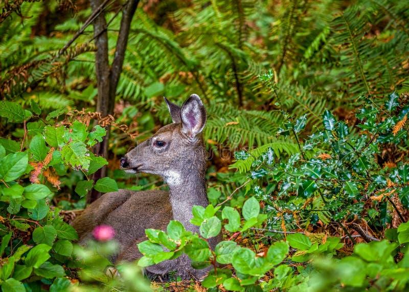 Cervos na floresta foto de stock