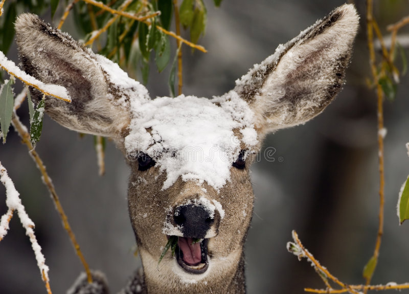 Cervos na neve imagem de stock