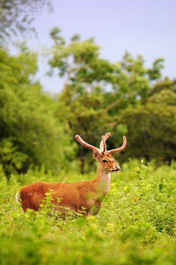 Cervos na selva imagem de stock