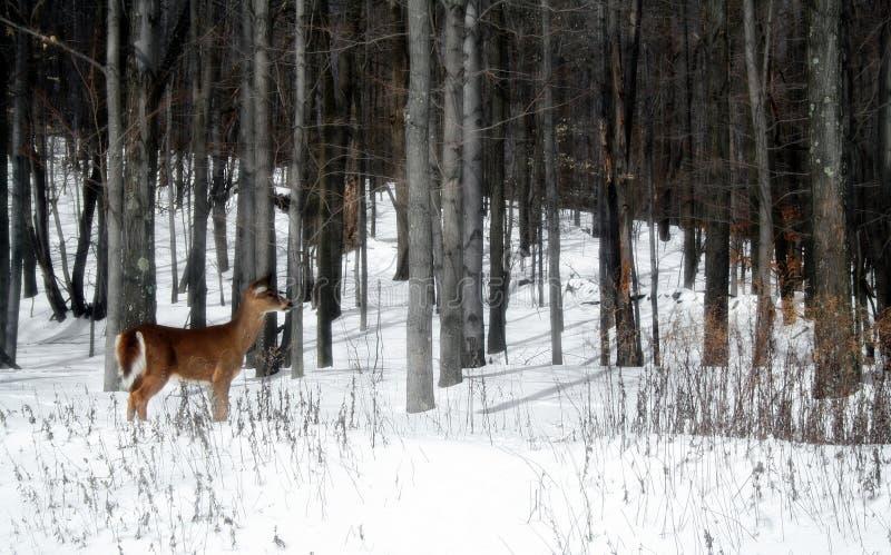Cervos nas madeiras foto de stock