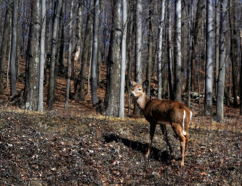 Cervos nas madeiras fotos de stock