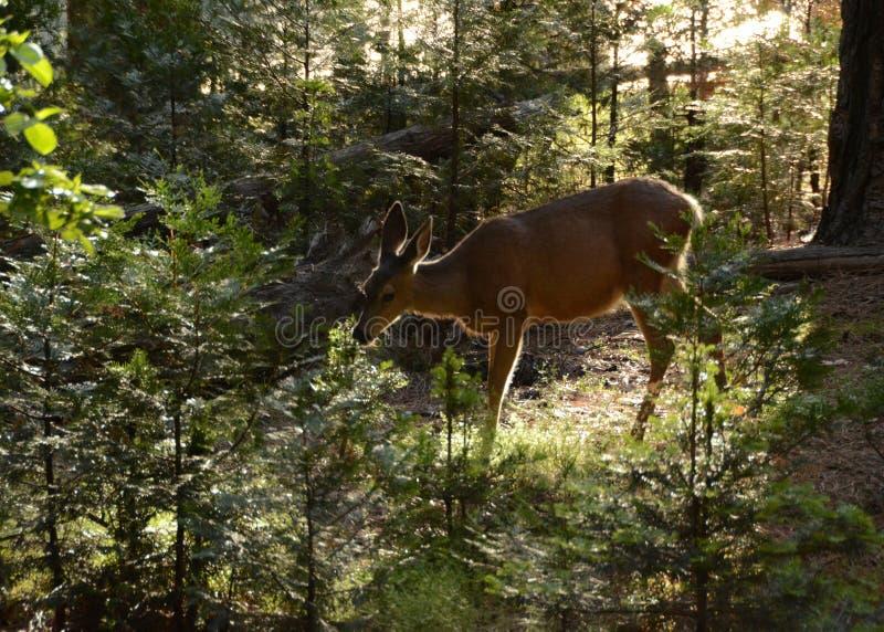 Cervos nas madeiras imagem de stock