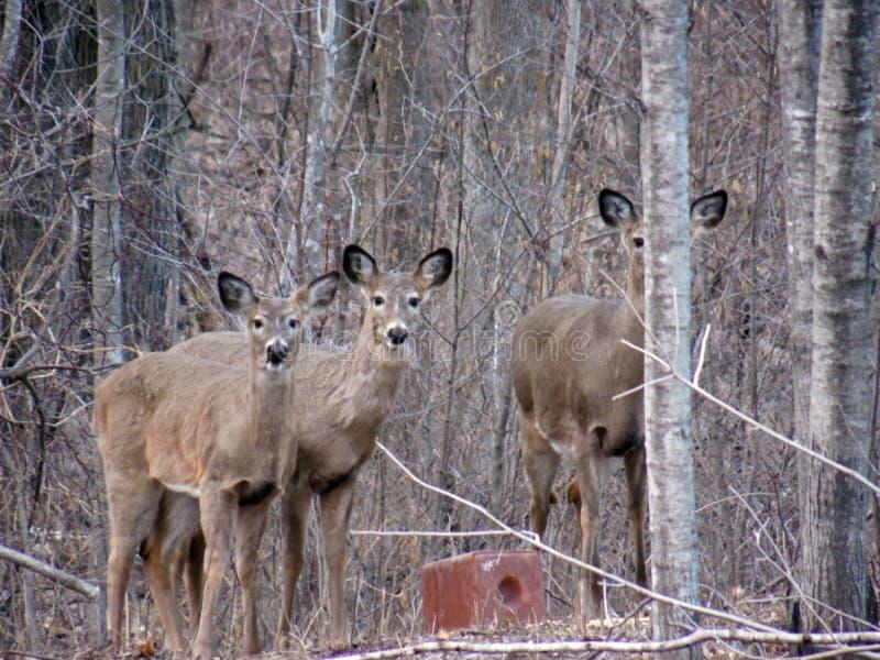 Cervos nas madeiras imagens de stock