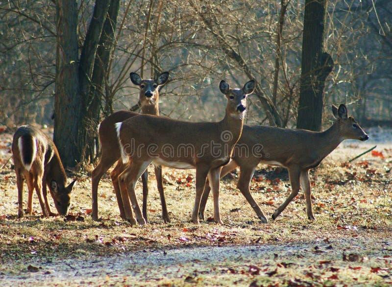 Cervos no inverno foto de stock royalty free