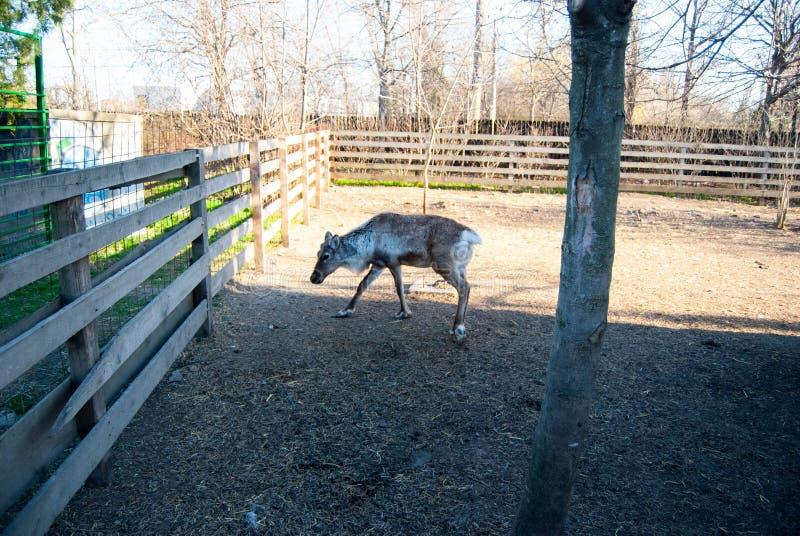 Cervos no jardim zoológico imagem de stock royalty free