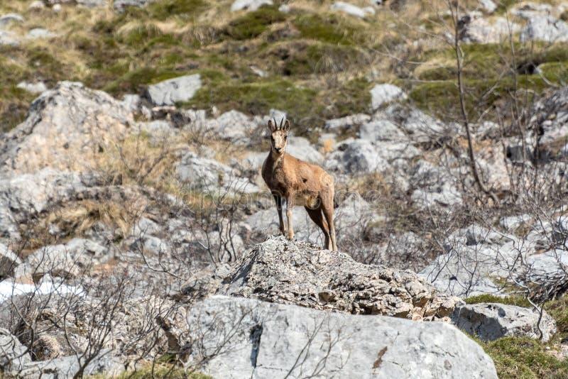 Cervos no parque nacional de Picos de Europa, Cantábria, Espanha imagens de stock royalty free