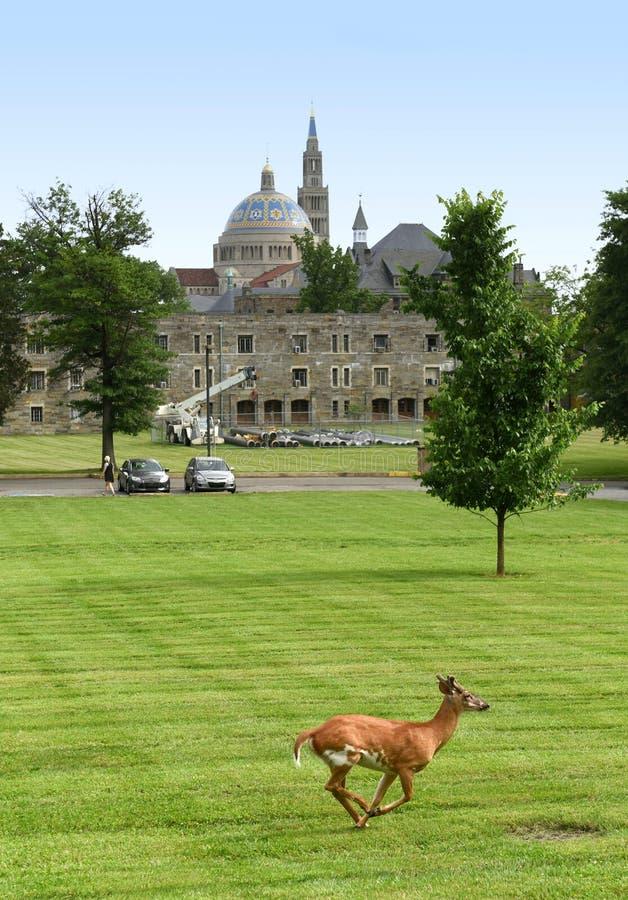 Cervos no parque a universidade católica de América e de basílica imagem de stock