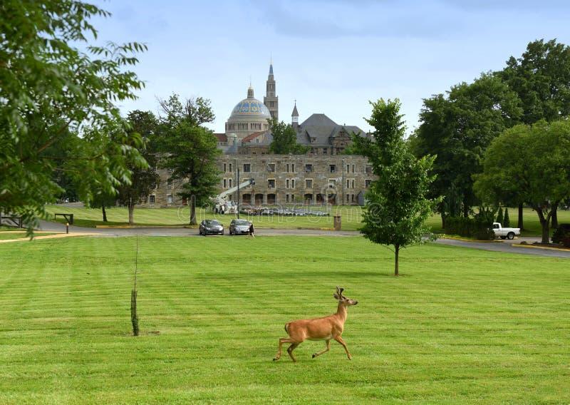 Cervos no parque a universidade católica de América e de basílica imagens de stock royalty free