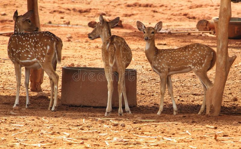 Cervos no santuário de animais selvagens fotografia de stock royalty free