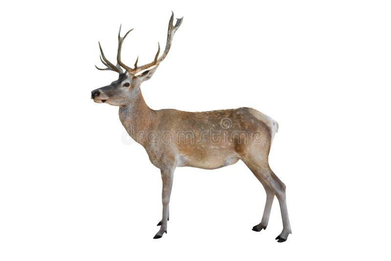 Cervos nobres isolados imagem de stock