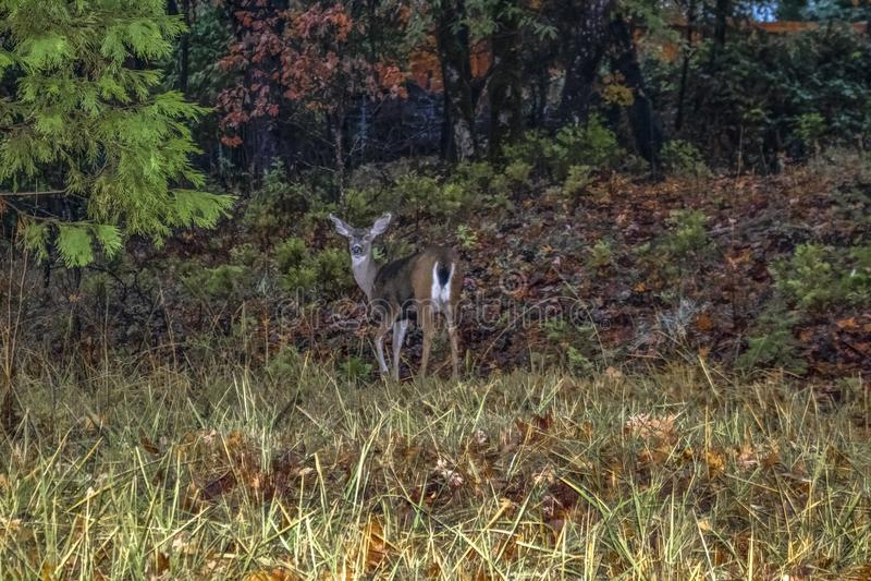 Cervos nos faróis o cervo na borda da floresta nas sombras gerencie para trás para olhar a fonte de luz de um passin do carro fotografia de stock