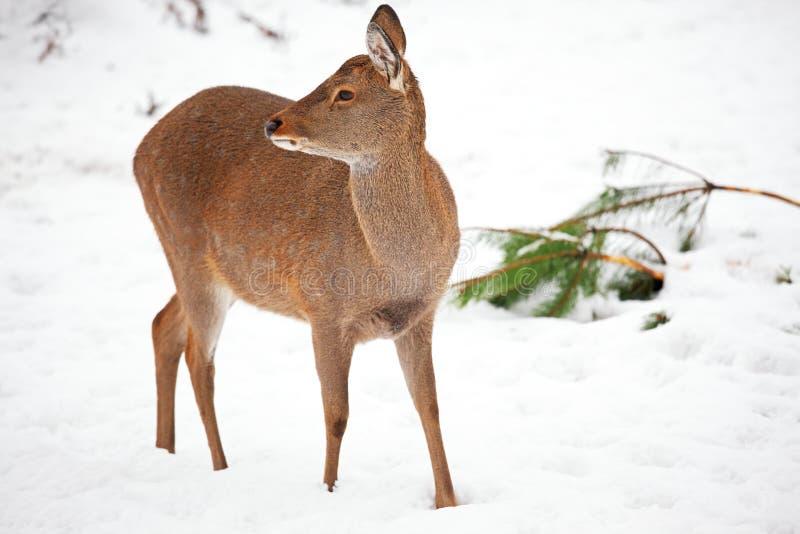 Cervos novos imagem de stock royalty free