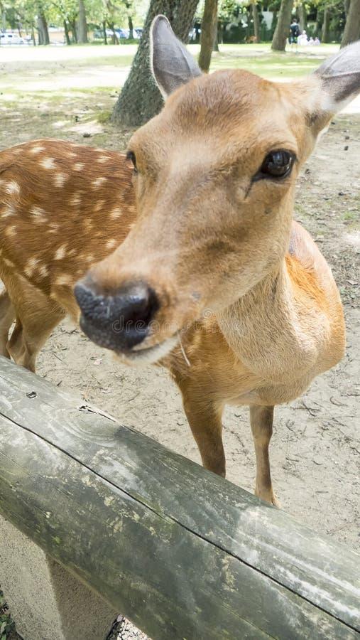 Cervos novos da gama do close up na área do parque de Nara, prefeitura de Nara, Japão imagens de stock royalty free