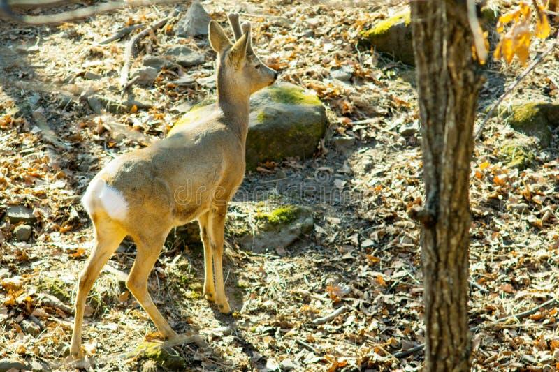 Cervos novos na floresta do leste foto de stock royalty free