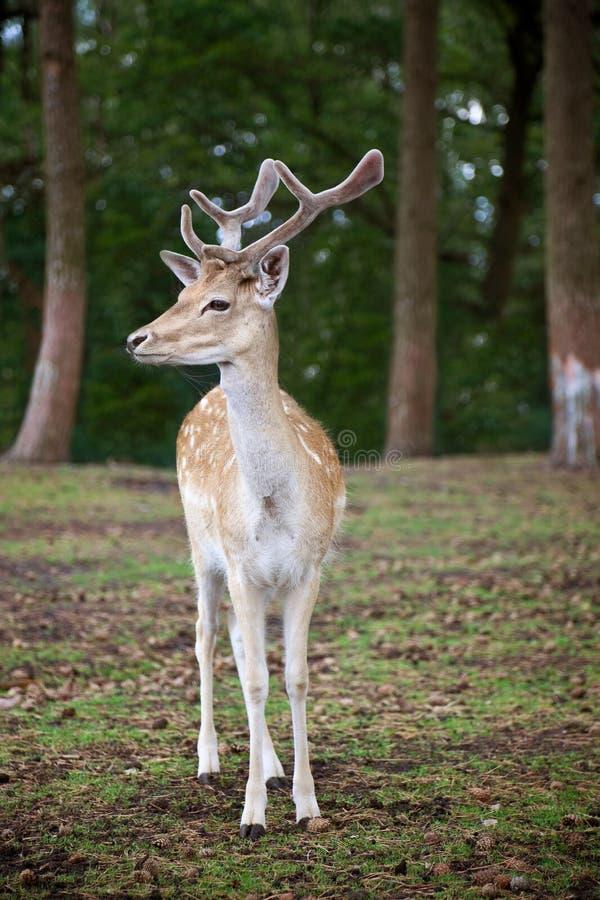 Cervos novos que levantam na floresta imagem de stock royalty free