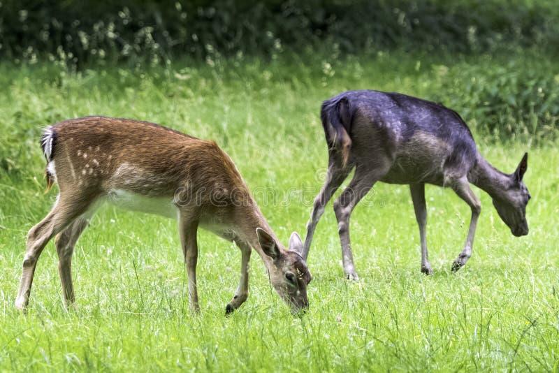 Cervos novos selvagens - Londres, Reino Unido foto de stock