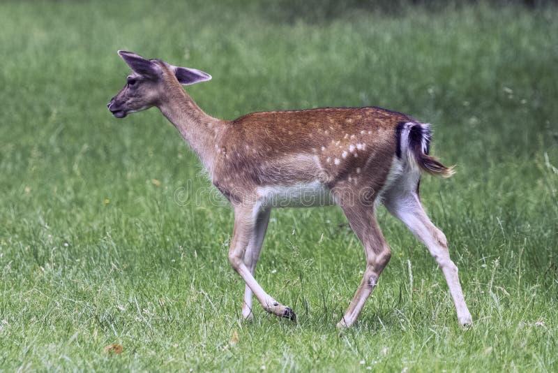Cervos novos selvagens - Londres, Reino Unido foto de stock royalty free